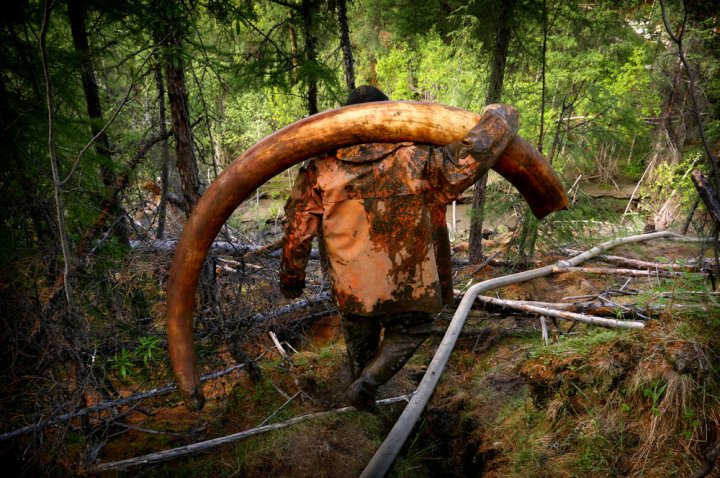 An illegal tusk hunter at a site where men extract mammoth tusks from the permafrost. Click  here  for my story on the Mammoth Pirates of Siberia.