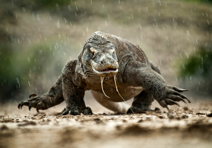 A Komodo Dragon charges through rainfall on Rinca Island.Click  here for full gallery on the Komodo Islands.