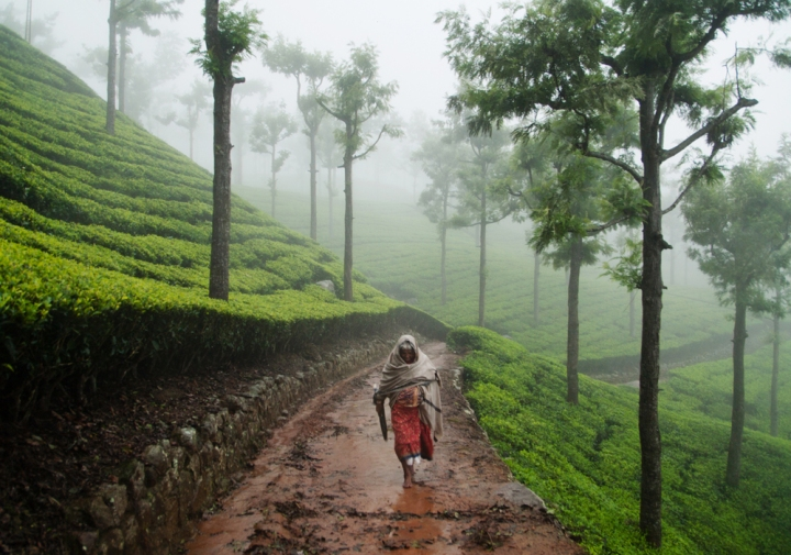 A tea picker caught out in a storm near Ooty, southern India. Moments earlier I'd passed in a train crawling cautiously over rivers red with floodwater. It was slow enough I could jump out and scramble back up to this plantation. Getting back to civilisation through the storm took the rest of the day.